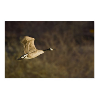 Canada Goose takes off for flight in wetlands Poster