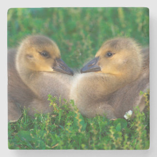 Canada Goslings that form a heart Stone Beverage Coaster