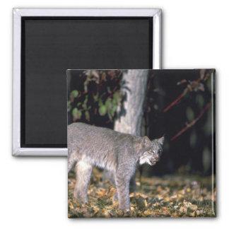 Canada lynx, autumn, in leaf-strewn forest magnet