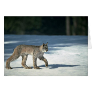 Canada lynx on snow card