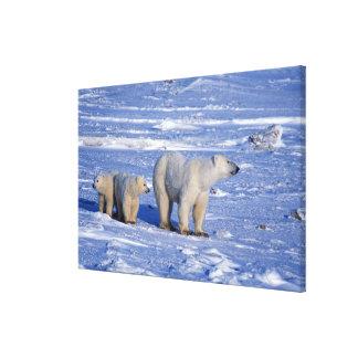Canada, Manitoba, Churchill. Polar bear mother Canvas Prints