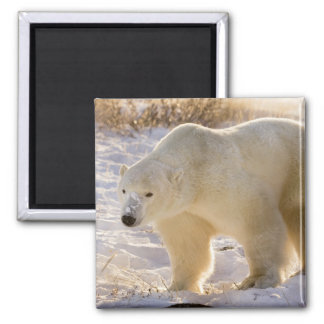 Canada, Manitoba, Hudson Bay, Churchill. Full Square Magnet
