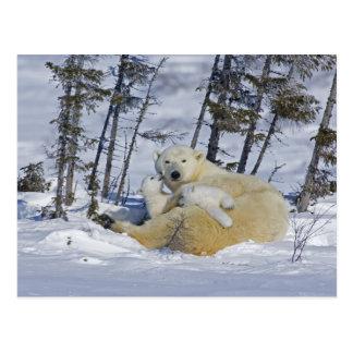 Canada, Manitoba, Wapusk National Park. Polar 5 Postcard