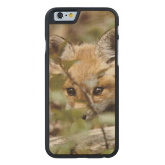 Canada, Point Pelee National Park. Young red fox Carved® Maple iPhone 6 Case