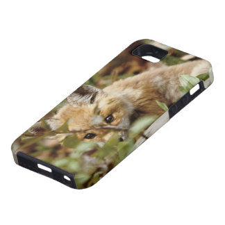 Canada, Point Pelee National Park. Young red fox iPhone 5 Covers