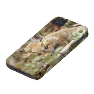 Canada, Point Pelee National Park. Young red fox iPhone 4 Case-Mate Cases