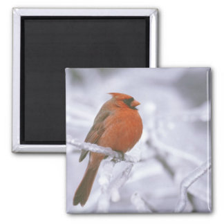 Canada, Quebec. Male northern cardinal on limb Square Magnet