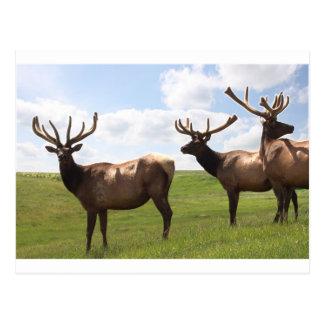 Canadian Bull Elk trio Postcard