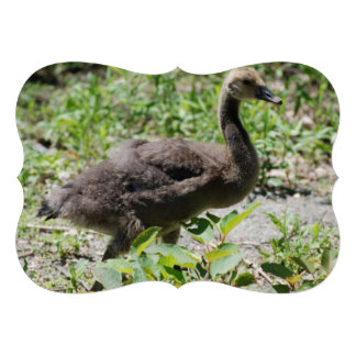 Canadian Geese Gosling Announcements