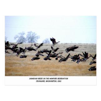 Canadian Geese   Hanford, Washington Postcard