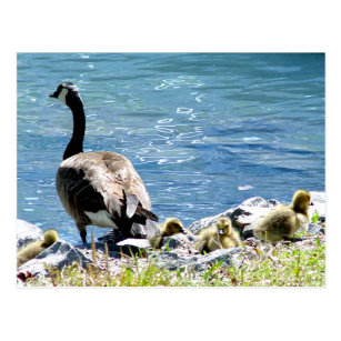Canadian Geese (Mum and Babes) Postcard