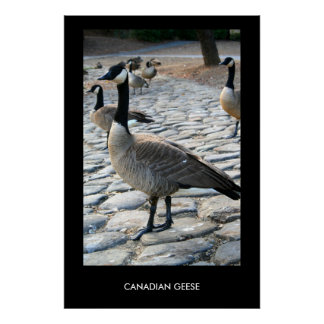 Canadian Geese Near The Lake Poster,Print Poster