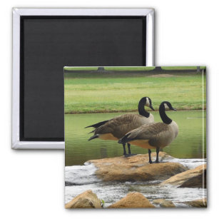 Canadian Geese on a rock by a pond magnet
