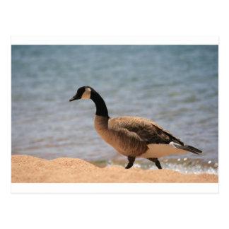 Canadian Goose in Lake Tahoe Postcard
