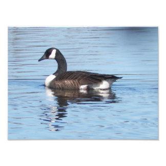 Canadian Goose Photoprint Photo Print