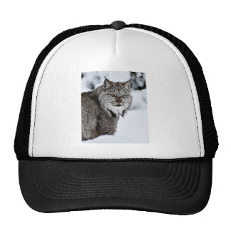 Canadian Lynx in the Snow Cap