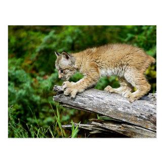 Canadian Lynx Kitten Ready to Pounce Postcard