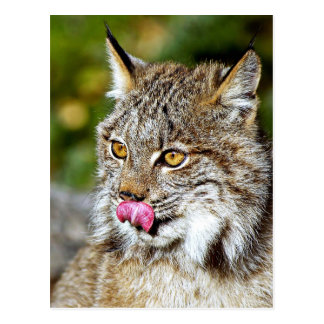 Canadian Lynx - Licking His Chops Postcard