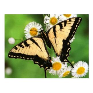Canadian tiger swallowtail (Papilio canadensis) Postcard