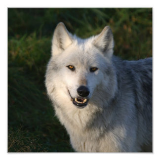 Canadian Timber Wolf Canadian Timber Wolf Photo Print