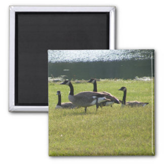 Candian Geese Magnet