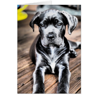 cane corso pup 2.png card