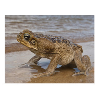 Cane Toad Rhinella marina, previously Bufo Postcard