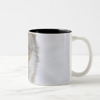 Canis lupus, Looking at Camera, Germany, Europa Mugs