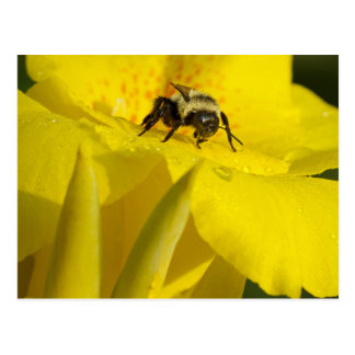 Canna Lily with Bumble Bee Postcard