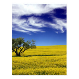 Canola Sky, Saskatchewan, Canada Postcard