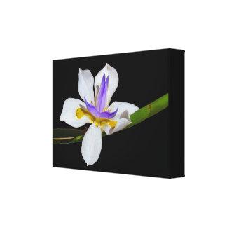 Canvas Print - Iris - Fortnight Lily