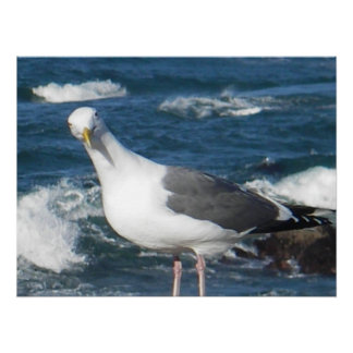 Canvas Print:  Looking Gull