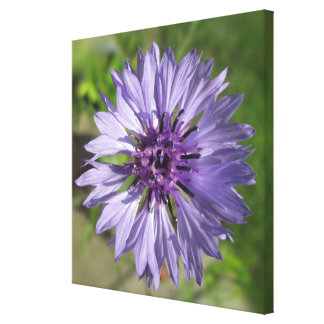 Canvas - Wrapped - Lilac/Purple Bachelor's Button