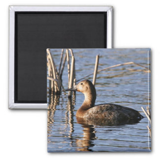 Canvasback hen square magnet