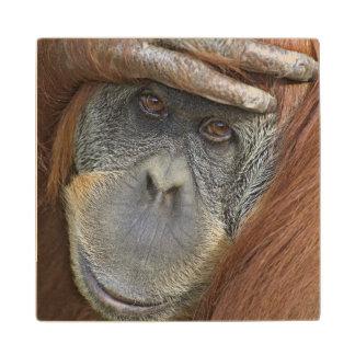 Captive female Sumatran Orangutan Maple Wood Coaster