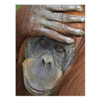 Captive female Sumatran Orangutan Postcard