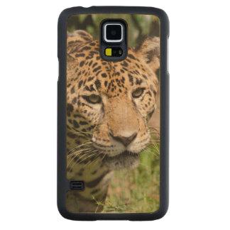 Captive jaguar in jungle enclosure 2 maple galaxy s5 case