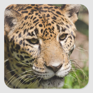 Captive jaguar in jungle enclosure 2 square sticker
