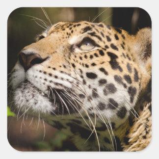Captive jaguar in jungle enclosure 3 square sticker