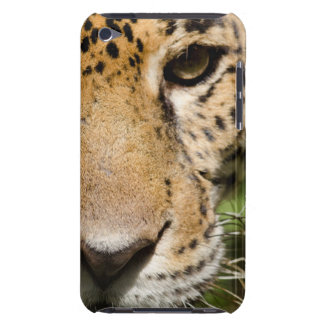 Captive jaguar in jungle enclosure iPod touch cover