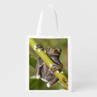 Captive Tapichalaca Tree Frog Hyloscirtus