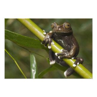 Captive Tapichalaca Tree Frog Hyloscirtus 2 Photo Art