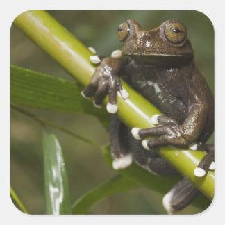 Captive Tapichalaca Tree Frog Hyloscirtus 2 Square Sticker