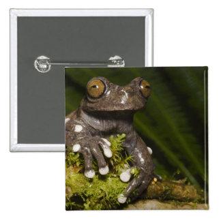 Captive Tapichalaca Tree Frog Hyloscirtus 3 15 Cm Square Badge