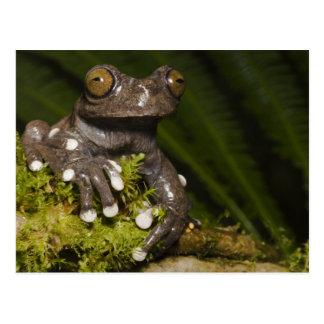 Captive Tapichalaca Tree Frog Hyloscirtus 3 Postcard