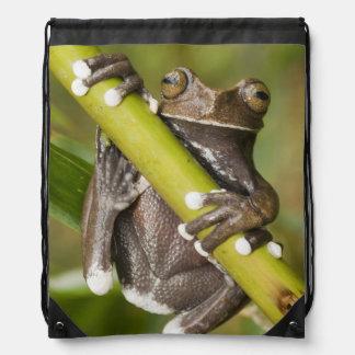 Captive Tapichalaca Tree Frog Hyloscirtus Backpack
