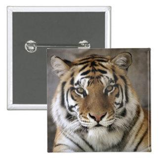 captive Tiger, Folsom City Zoo Sanctuary, 15 Cm Square Badge