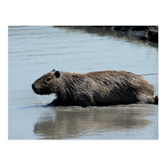 Capybara plunging into water postcard