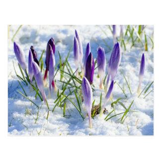 Card Purple Crocus Flower in Snow Postcard