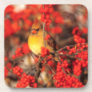 Cardinal female and red berries, IL Beverage Coaster